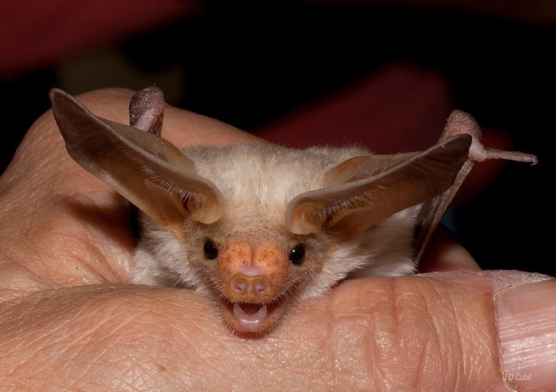 Pallid bat (Antrozous pallidus).