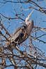 Nesting heron, 3/18/2010.