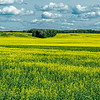 Canada's Canola fields 7-9-19_V9A7306