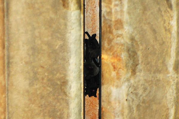 Bats Yolo Bypass