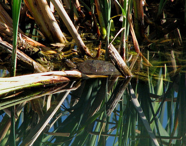 western pond turtle in the cattails