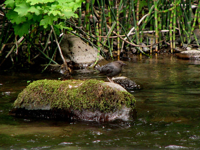 American dipper (water ouzsel) - only songbird (5 dipper species in the world) that can walk under water!