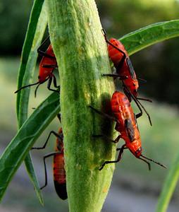 Young milkweed beetles