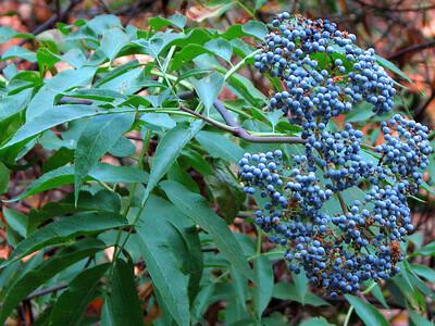 Elderberry Shrub