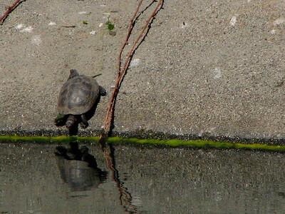northwestern pond turtle