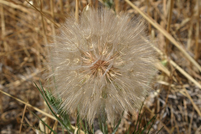 This giant dandelion-like seed head was beautiful, with parts glowing golden in the sun. You could believe that a princess could spin this into gold. My photo doesn't do it justice.