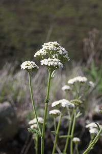 Common yarrow, (Achillea millefolium) native