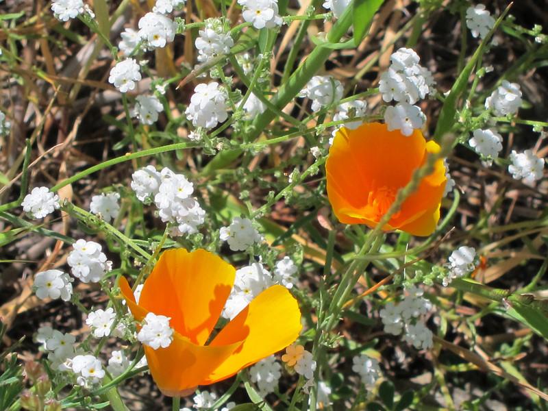 California Poppy (Eschscholzia californica)  and tiny white flowers.