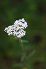 "<a href=""http://en.wikipedia.org/wiki/Common_yarrow"">Common yarrow</a> (Achillea millefolium)."