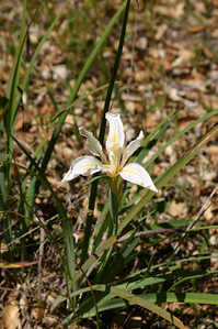 Fernald's Iris once again.