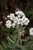 Western Pearly Everlasting (Anapahlis margaritacea), the only one of hundreds of Anapahlis that is native to North America.