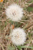 Flower seed heads, dandelions or some other DYC.