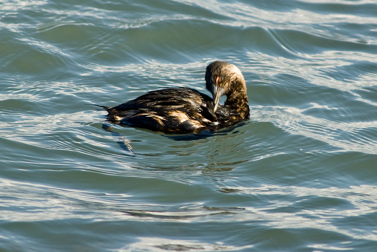 An oily duckling