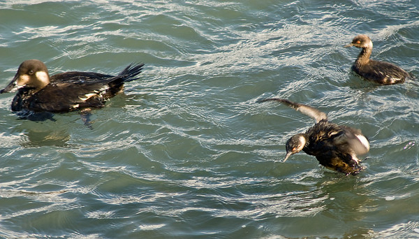 Fouled ducks.  The little ones kept trying to get up and flap like this, but to no avail.