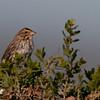 juvenile song sparrow??