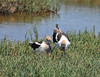 avocets on a nest_DSC_7611