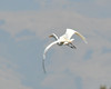 egret_flying_DSC_7808