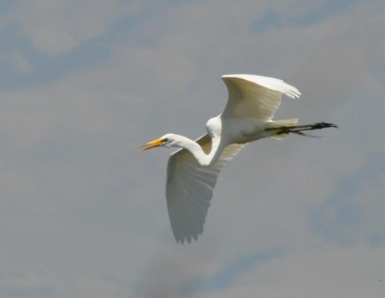 egret_flying_DSC_7810