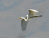 egret_flying_DSC_7810