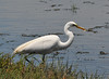 great egret with small fish_DSC_7527