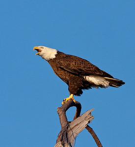 Baytown Eagle -3971