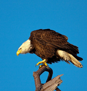 Baytown Eagle -3980