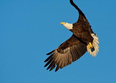 Baytown Eagle -3957