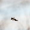 Osprey in full, vertical dive.