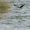 Osprey with fish in talons