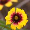 Blanket flower
