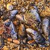 Mussel shells Asilomar