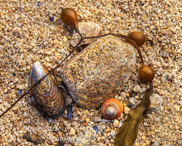 Kelp on rock Asilomar