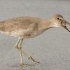 Willet sandpiper with sand crab breakfast going down
