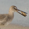 Willet sandpiper with sand crab breakfast