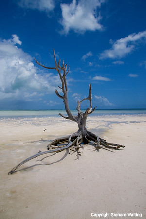 Dead tree on beach in Harbour Island, Bahama with ocean in background