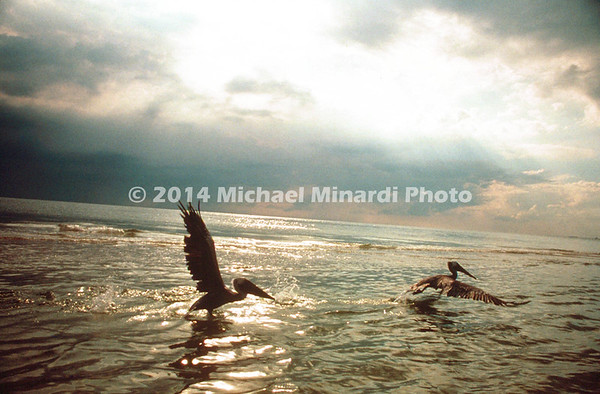Pelicans at Redington Shores Florida