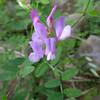 Lathyrus nevadensis