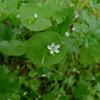 Montia perfoliata