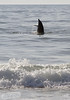 A playful dolphin off Bear Island.