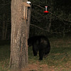 Bear outside cabin door at feeders- June 2012