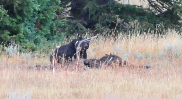 Bear vs. Elk  - Sept 2015