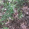 Two Tick Trefoil species (Desmodium)