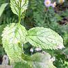 White Vervain (Verbena urticifolia)