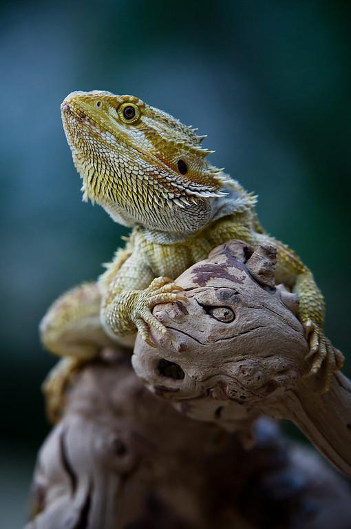 Bearded Dragon (Tark)