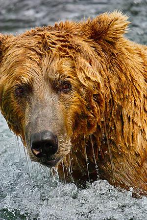 Bears 2011 Thru 2013