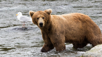 Bear facts:  Brown bears are found all over Alaska and are actually bigger than their Grizzly cousins, because they get fat eating salmon. The big adult males can grow to 1200 pounds. Just guessing that this one is around 900 pounds.