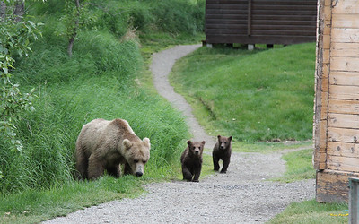 this mom and cubs just strolling through the cottages