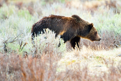 Grizzly Bear, Tower Junction, Yellowstone