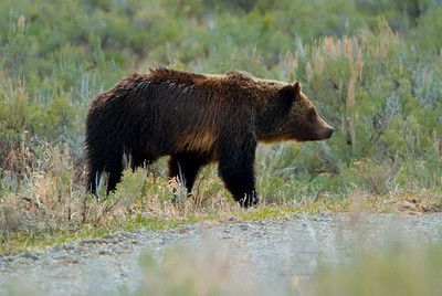 Grizzly Bear, Tower Junction, Yellowstone 4