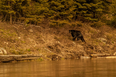 The Curious Black Bear, Yellowstone 2